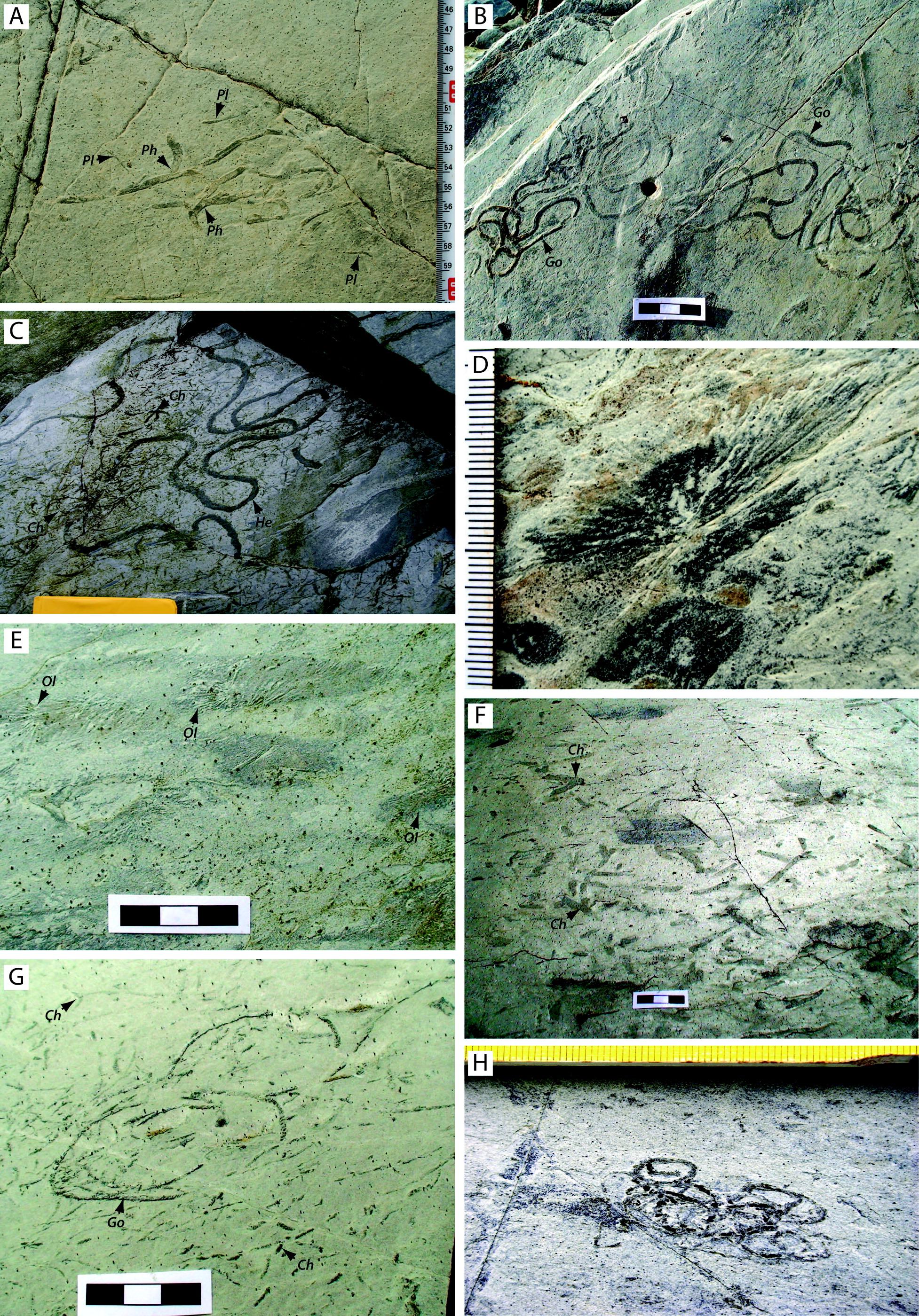 helminthopsis ás)